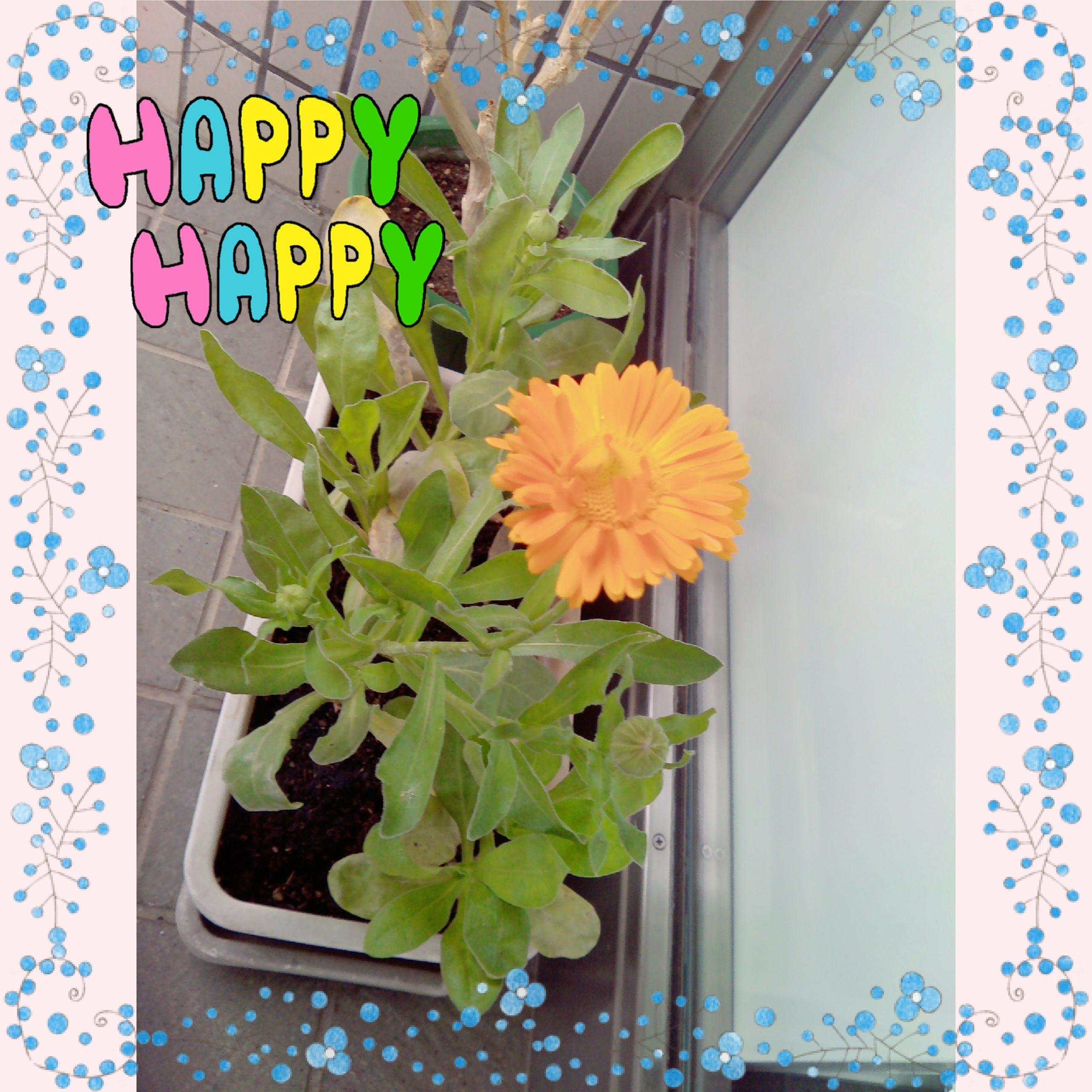 キンセンカ開花